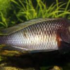Tropheus Nangu WF