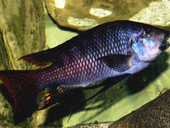 Petrochromis red fin Longola