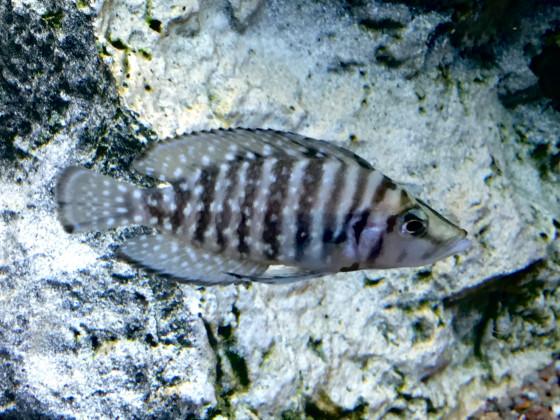 Altolamprologus calvus black 🚺 4 cm