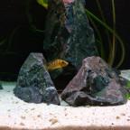 Junger Altolamprologus compressiceps gold head