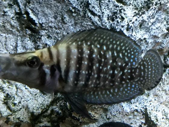 Altolamprologus calvus black 🚺 5 cm