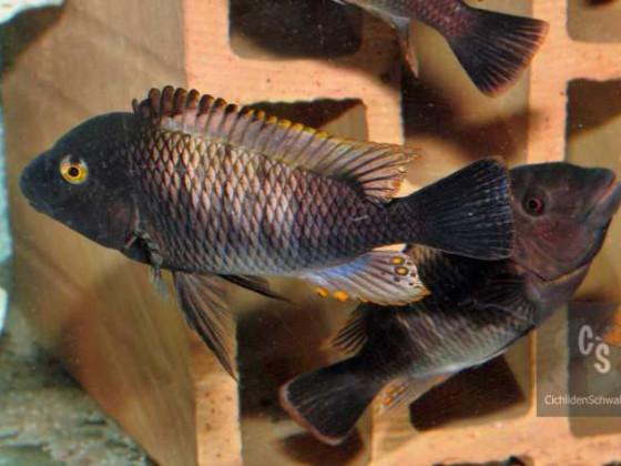 Картинки по запросу Petrochromis famula 'kaiser Kapampa'