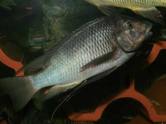 "Petrochromis ""Texas Kipilli"""