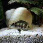 Altolamprologus spec. shell Sumbu (Jungtier)