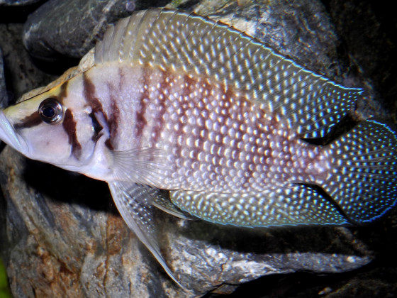 "Altolamprologus calvus ""chaitika white"""