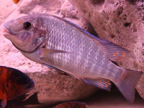 "Petrochromis ""Giant"""