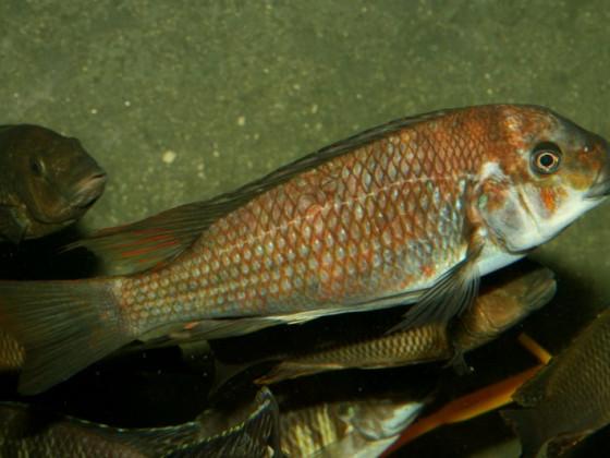 """Petrochromis """"Kazumbe"""""""
