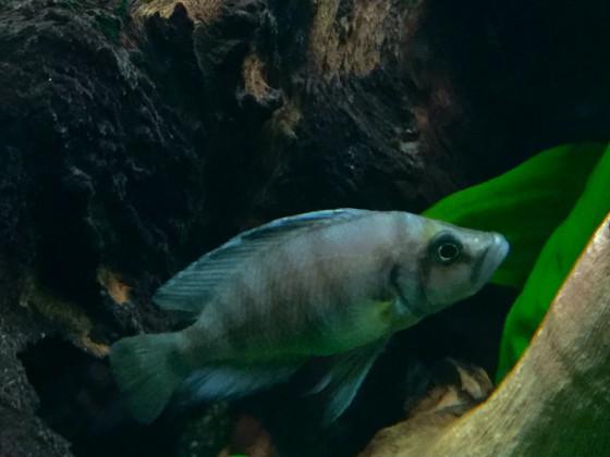 Altolamprologus spec shell Sumbu