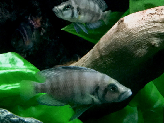 Altolamprologus spec. shell Sumbu (Jungtiere)