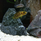 A. Compressiceps gold head und J. transcrpitus gombe