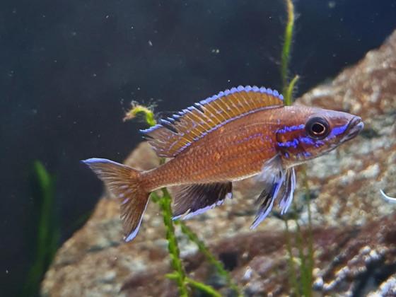 Paracyprichromis Nigripinnis Männchen
