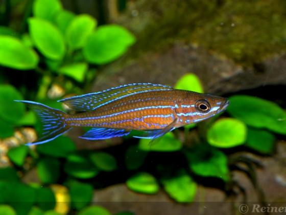 2 männlicher  Paracyprichromis n. blue neon 08062014