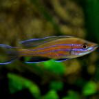 männlicher paracyprichromis n. blue neon 24042014. A jpg