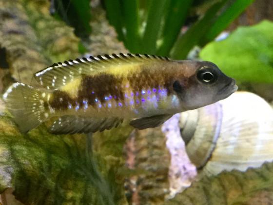 Lamprologus speciosus Bwassa, 🚺