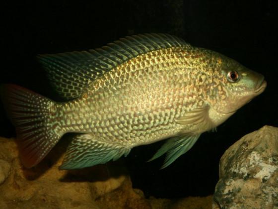 Oreochromis tanganjicae