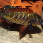 Tropheus Golden Kazumba WF