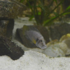 Altolamprologus Sumbu Shell