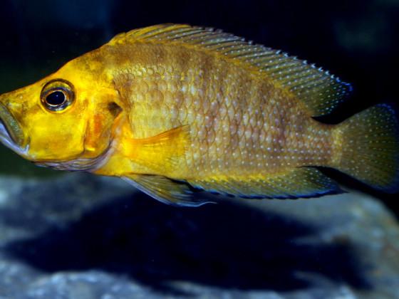 "Altolamprologus compressiceps ""gold head"""