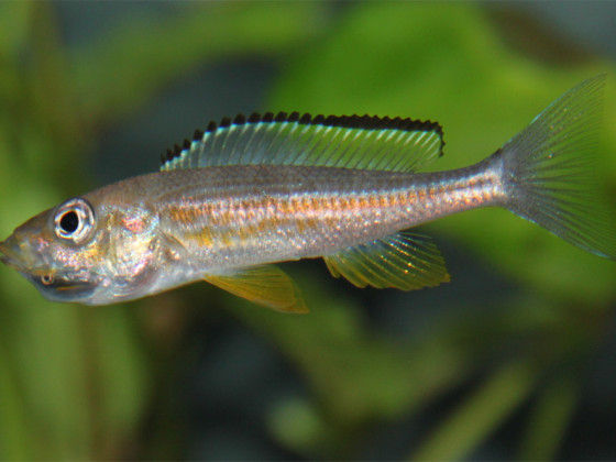 Paracyprichromis brieni kisonso