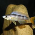 Cyprichromis Lep. Utinta
