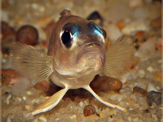 Lamprologus kungweensis