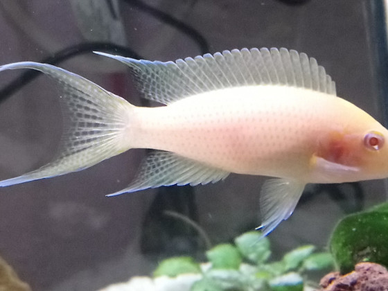 Neolamprologus olivaceous albino