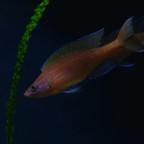 Paracyprichromis
