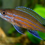 männlicher paracyprichromis n. blue neon 2  06062014