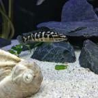Julidochromis transcrpitus gombe