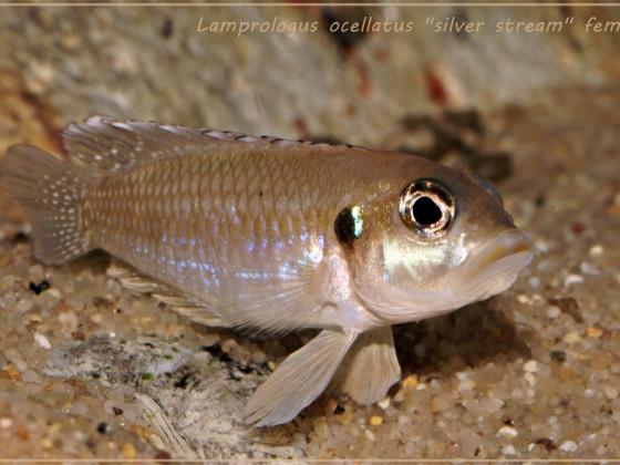 "Lamprologus ocellatus ""silver stream"""