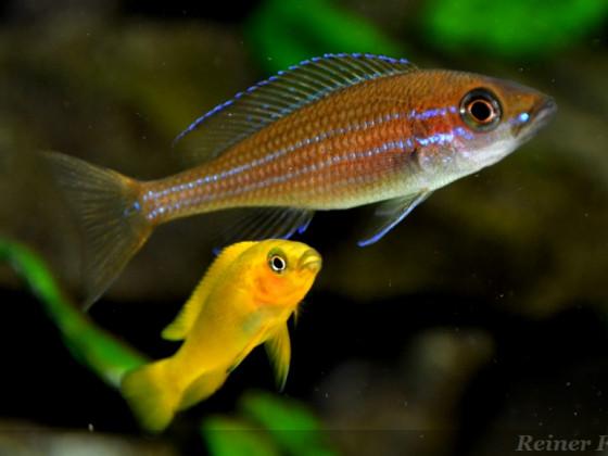 3 weiblicher Paracyprichromis n. blue neon mit lomgior  24042014