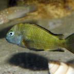 Tropheus Sanogo