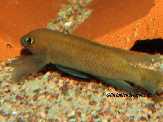 Neolamprologus pectoralis