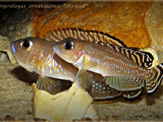"Lamprologus ornatipinnis ""striped"""