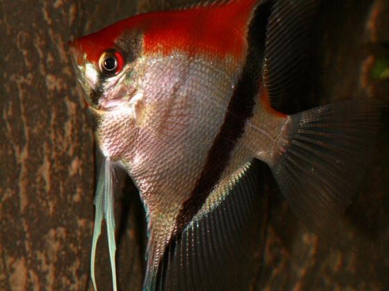 Manacapuru Rotrücken Skalar,Männliches Tier mit einer Spannweite von ca. 28 cm