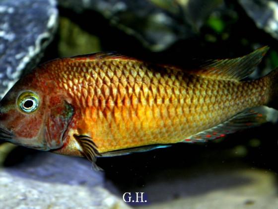 Red Namansi WF