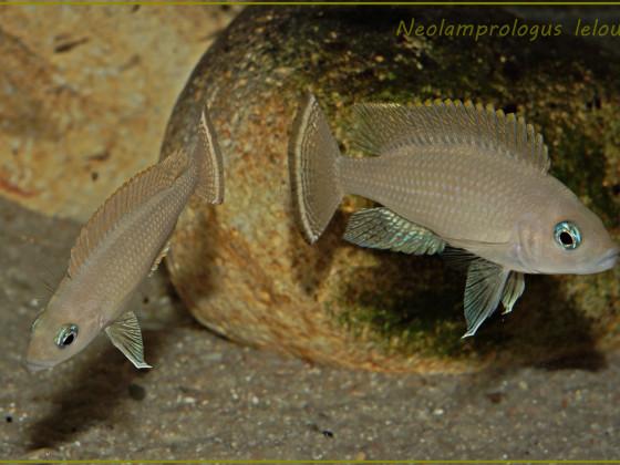 Neolamprologus leloupi