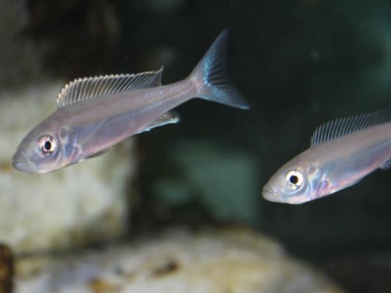 Benthochromis tricoti Burundi