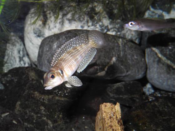 Lamprologus meleagris