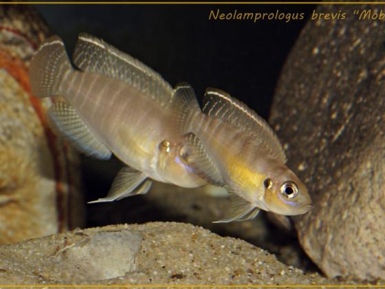 "Neolamprologus brevis ""Moba"" WF"