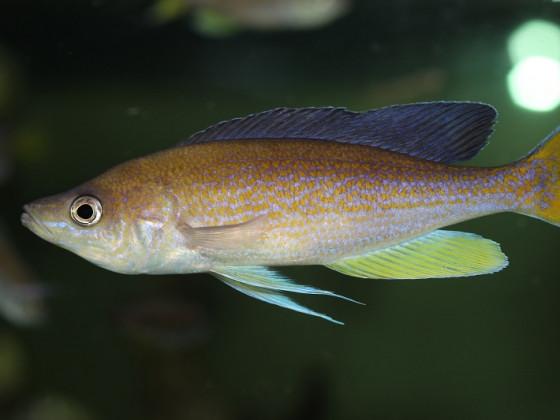 Cyprichromis pavo Moliro WF/WFNZ