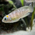 Neolamprologus Brevis Katabe Weibchen