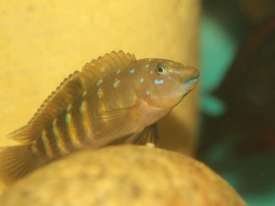 Tanganicodus irasacae Mabilibili
