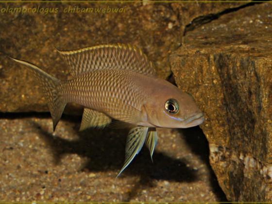 Neolamprologus chitamwebwai