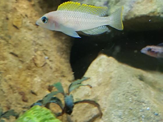 Neolamprologus Caudopunctatus kapampa
