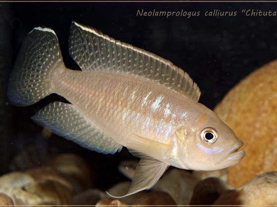 """Neolamprologus calliurus """"Chituta"""" WF"""
