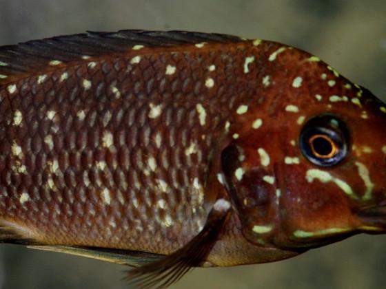 Petrochromis trewavasae moliro Congo