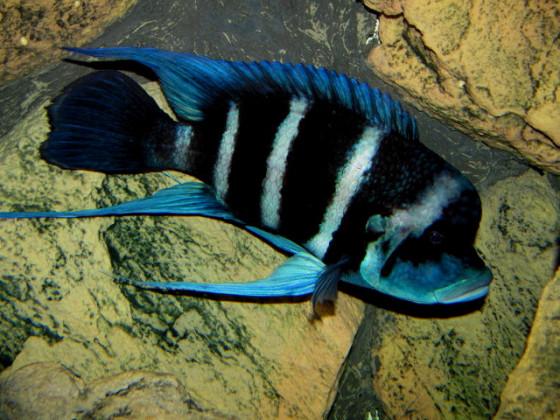 Cyphotilapia blue Zaire moba