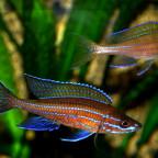 04072014 ein Paar Paracyprichromis 1
