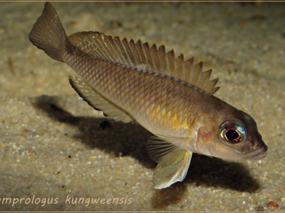 """Lamprologus kungweensis """"Männchen"""""""